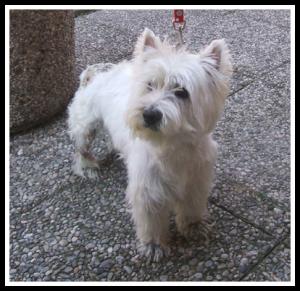 West Highland White Terrier demodicosi